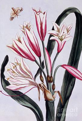 Moth Drawing - Long Leaved Amaryllis by Pierre-Joseph Buchoz