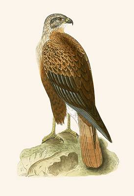 Buzzard Drawing - Long Legged Buzzard by English School