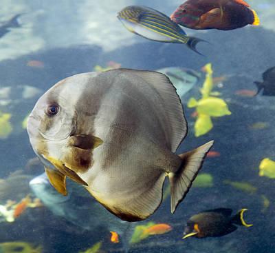 Longfin Batfish Print by Betsy Knapp