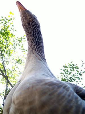 Longneck Goose Print by Ken Day