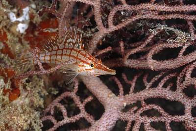 Longnose Hawkfish Hiding In Coral Print by James Forte