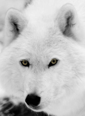 Black. Arctic Wolf Photograph - Look Into My Eyes by Larry Ricker
