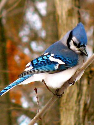 Look Of The Blue Jay Print by Debra     Vatalaro