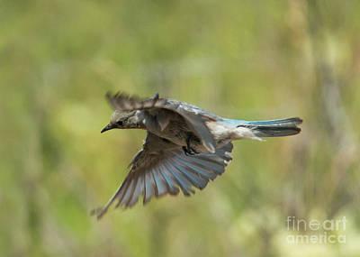 Bluebird Photograph - Looking Down by Mike Dawson