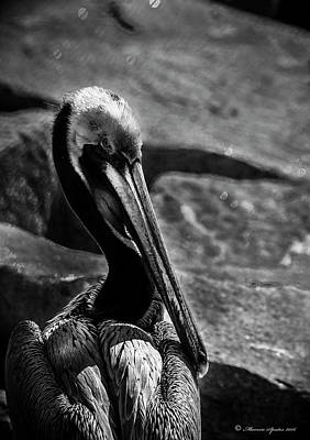 Pelican Photograph - Looking Good B/w by Marvin Spates