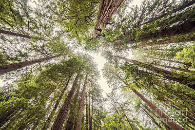 Looking Up At The Redwood Canopy - Founders Grove Muir Woods National Monument - Marin County  Print by Silvio Ligutti
