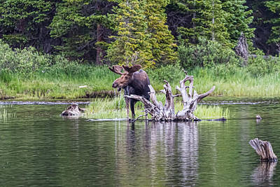 Animal Photograph - Loose Moose by James BO  Insogna
