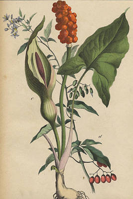 Lords And Ladies Print by German Botanical Artist