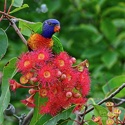 Lorikeet And Gum Nut Blossoms By Kaye Menner Print by Kaye Menner