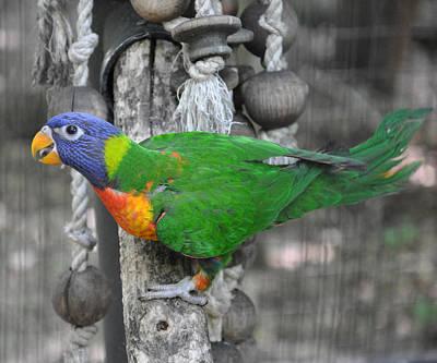 Parakeet Photograph - Lorikeet Playtime by Jan Amiss Photography