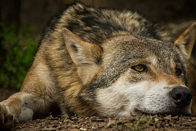 Black. Timber Wolf Photograph - El Lobo by Constance Puttkemery