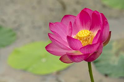 Leave Photograph - Lotus No.4 by Fan Ying Hua