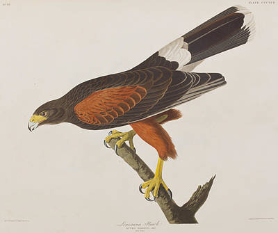 Hawk Drawing - Louisiana Hawk by John James Audubon