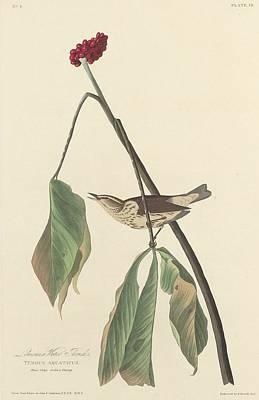 Wetlands Drawing - Louisiana Water Thrush by John James Audubon