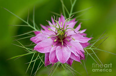 Love-in-a-mist Photograph - Love In The Mist by Venetta Archer