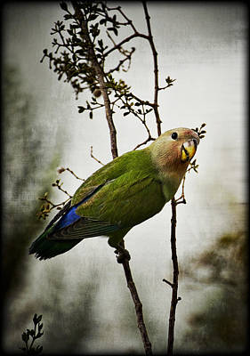 Peach-faced Lovebird Photograph - Lovebird  by Saija  Lehtonen