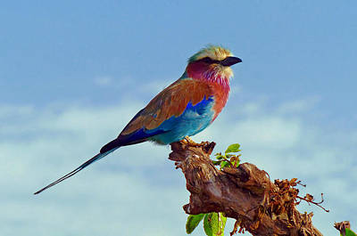 Lovely African Lilac-breasted Roller Print by Mountain Dreams
