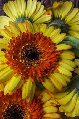 Gerbera Daisy Photograph - Lovely Gerbera Germinis by Garry Gay