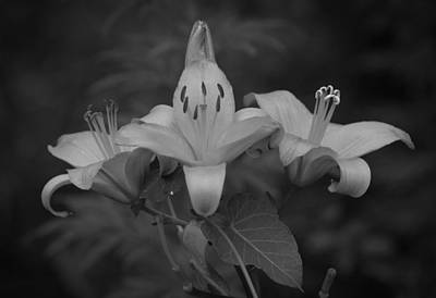 Lovely Lilies In Black And White Print by Mountain Dreams