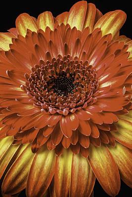 Gerbera Daisy Photograph - Lovely Orange Gerbera Daisy by Garry Gay
