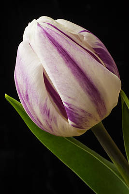 White Tulip Photograph - Lovely White And Purple Tulip by Garry Gay