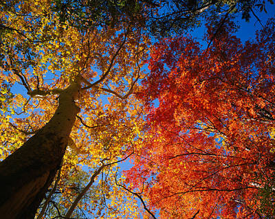 Sycamore Canyon Photograph - Low Angle View Of A Sycamore Tree by Panoramic Images