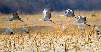 Sandhill Crane Photograph - Low Level Flyby by Mike Dawson