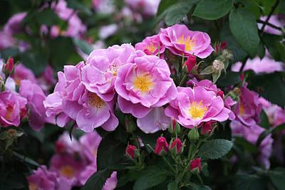 Lucky Floribunda Roses Print by Rona Black
