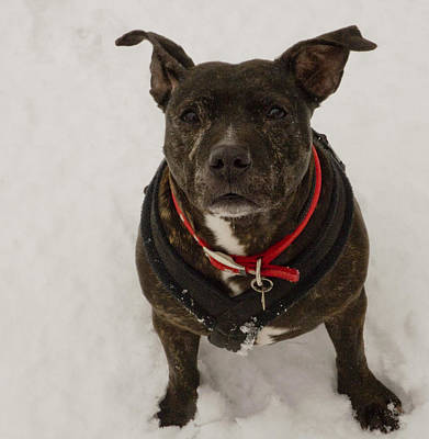 Lucy Staffie In Snow Print by Clive Beake