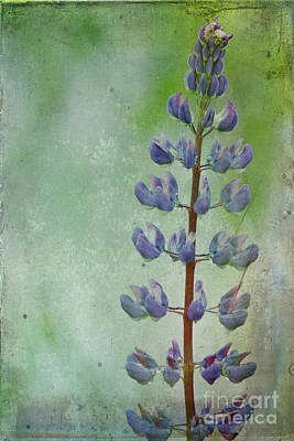 Maine Meadow Photograph - Lupine by Cindi Ressler