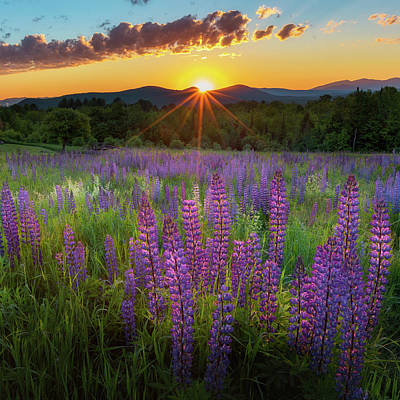 Lupine Lumination Square Print by Bill Wakeley