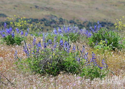 Washington Photograph - Lupines On The Hill by Carol Groenen