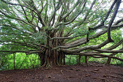 Banyan Tree Photograph - Lush Tropical Banyan Tree by Pierre Leclerc Photography