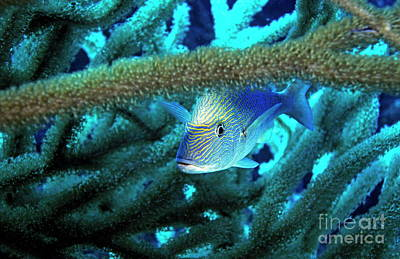 Lutjan Seaperch Hiding In Soft Coral Print by Sami Sarkis