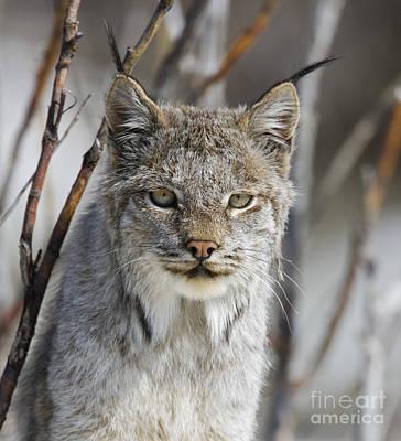 Lynxes Photograph - Lynx Portrait by Tim Grams