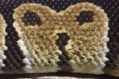 Burmese Python Photograph - Macro Photograph Of A Captive Ball by Rich Reid