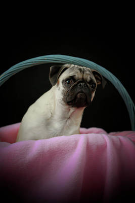 Pug Photograph - Maggie In A Basket by Trish Tritz