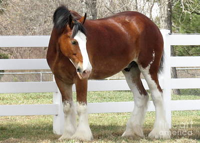 Fort Collins Photograph - Magnificant Horses - The Clydesdales -11 by Diane M Dittus