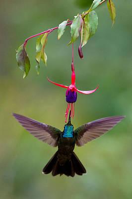 Magnificent Hummingbird - Eugenes Fulgens Photograph - Magnificent Hummingbird Eugenes Fulgens by Panoramic Images