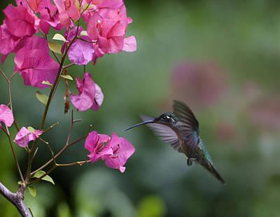 Magnificent Hummingbird - Eugenes Fulgens Photograph - Magnificent Hummingbird Female Feeding by Tim Fitzharris