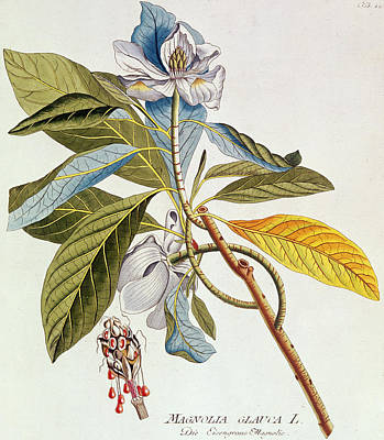Magnolia Glauca Print by German School