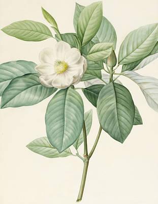 Magnolia Glauca Print by Pierre Joseph Redoute