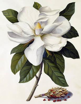 Colorful Drawing - Magnolia Grandiflora by Georg Dionysius Ehret