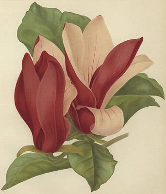 Magnolia Soulangiana Nigra Print by English School