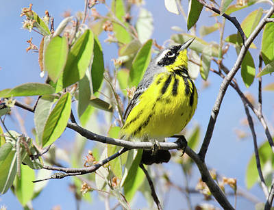 Magnolia Warbler Photograph - Magnolia Warbler by Judd Nathan