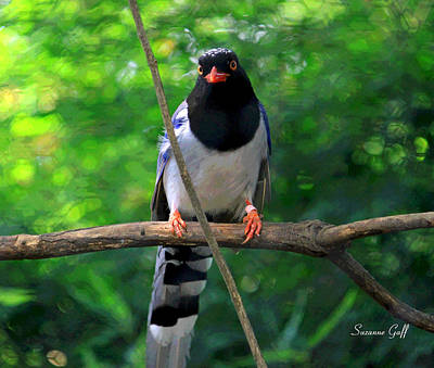 Magpies Digital Art - Magpie I Enhanced by Suzanne Gaff