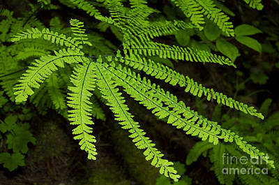 Maidenhair Fern Reaching Out Print by Sherry  Curry