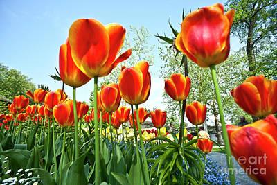 Tulips Photograph - Mainau Tulip Field by Heiko Koehrer-Wagner