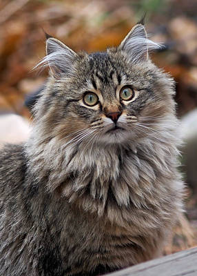 Cat Photograph - Maine Coon Cat by Rona Black