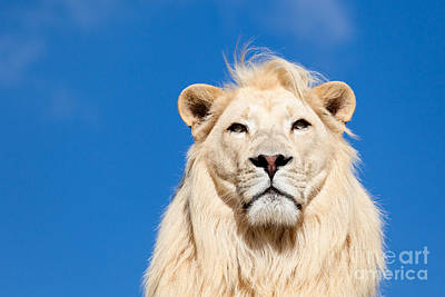 Mammals Photograph - Majestic White Lion by Sarah Cheriton-Jones